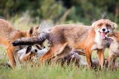 Οικογενειακό παιχνίδι αλεπούδων Στοκ φωτογραφία με δικαίωμα ελεύθερης χρήσης