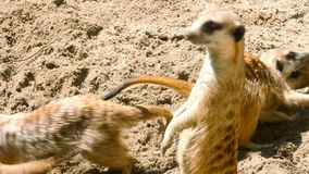 Οικογενειακό παιχνίδι Meerkat απόθεμα βίντεο