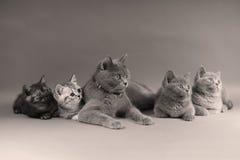Οικογενειακό πορτρέτο γατών, πυροβολισμός στούντιο Στοκ εικόνες με δικαίωμα ελεύθερης χρήσης