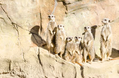 Οικογενειακό πορτρέτο μιας συμμορίας της έξι λεπτός-παρακολουθημένης στάσης Meekats στοκ φωτογραφία με δικαίωμα ελεύθερης χρήσης