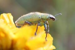 οικογενειακό πράσινο έντομο arthropoda Στοκ φωτογραφίες με δικαίωμα ελεύθερης χρήσης