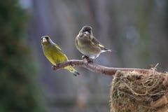 οικογενειακό finch πράσινο Στοκ Εικόνα