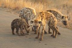 οικογενειακό hyena Στοκ Εικόνες