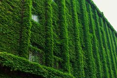 οικοδόμηση που εισβάλλ& Πράσινοι θάμνοι στον τοίχο Στοκ Εικόνα