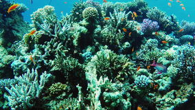Οικοσύστημα μιας κοραλλιογενούς υφάλου με πολλή Ερυθρά Θάλασσα Anthias ψαριών απόθεμα βίντεο