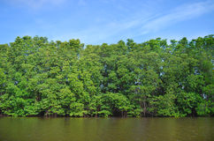 Οικολογία του δάσους μαγγροβίων στην Ταϊλάνδη Στοκ Εικόνες