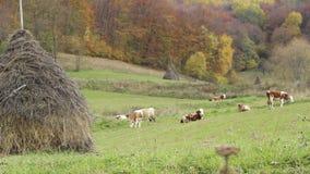 Οικολογική βοσκή βοοειδών απόθεμα βίντεο