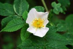 Οι άγρια περιοχές λουλουδιών αυξήθηκαν Στοκ φωτογραφία με δικαίωμα ελεύθερης χρήσης
