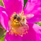 Οι άγρια περιοχές μελισσών και λουλουδιών αυξήθηκαν Στοκ εικόνα με δικαίωμα ελεύθερης χρήσης