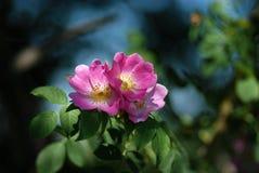 Οι άγρια περιοχές λουλουδιών αυξήθηκαν Στοκ φωτογραφίες με δικαίωμα ελεύθερης χρήσης