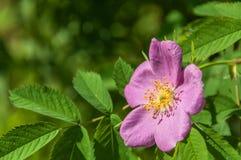 Οι άγρια περιοχές λουλουδιών Briar αυξήθηκαν Στοκ Εικόνες