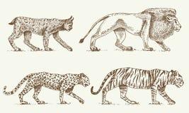 Οι άγριες γάτες θέτουν, λεοπάρδαλη λιονταριών λυγξ και χαραγμένο τίγρη χέρι που σύρονται στο παλαιό ύφος σκίτσων, εκλεκτής ποιότη Στοκ Εικόνες