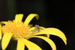 Οι άγριες μέλισσες είναι όλα τα είδη μελισσών Στοκ φωτογραφίες με δικαίωμα ελεύθερης χρήσης