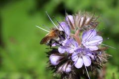 Οι άγριες μέλισσες είναι όλα τα είδη μελισσών Στοκ Φωτογραφία