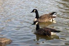 Οι άγριες χήνες κολυμπούν στη λίμνη Στοκ εικόνα με δικαίωμα ελεύθερης χρήσης