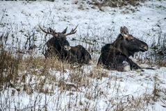 Οι άλκες και η αγελάδα αλκών βρίσκονται στηργμένος στο χειμερινό δάσος στοκ φωτογραφίες