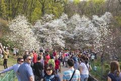 Οι άνθρωποι απολαμβάνουν τα άνθη magnolia στο βοτανικό κήπο σε Kyiv στοκ εικόνες