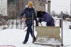 Οι άνθρωποι εκπαιδεύουν τα σκυλιά τους, περπάτημα σκυλιών στοκ εικόνα με δικαίωμα ελεύθερης χρήσης
