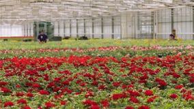Οι άνθρωποι εργάζονται με τα λουλούδια σε ένα θερμοκήπιο, οι άνθρωποι φροντίζουν τα λουλούδια σε ένα μεγάλο σύγχρονο θερμοκήπιο Α απόθεμα βίντεο