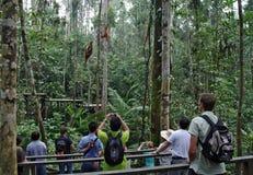 Οι άνθρωποι κάνουν τις φωτογραφίες orangutans του pygmaeus Pongo σε ένα σχοινί του δέντρου Στοκ εικόνες με δικαίωμα ελεύθερης χρήσης