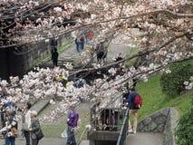 Οι άνθρωποι που περπατούν κατά μήκος των διαδρομών ενός μη χρησιμοποιούμενου σιδηροδρόμου κάτω από το όμορφο κεράσι ανθίζουν δέντ Στοκ Φωτογραφία