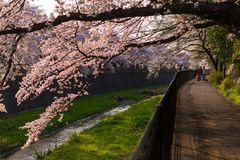 Οι άνθρωποι που περπατούν με το σκυλί και απολαμβάνουν το άνθος κερασιών sakura στο tach στοκ εικόνα με δικαίωμα ελεύθερης χρήσης