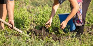 Οι άνθρωποι σκάβουν τις πατάτες στο χώμα το φθινόπωρο Στοκ Εικόνες