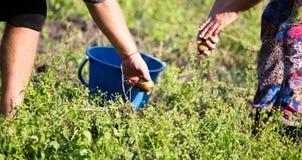 Οι άνθρωποι σκάβουν τις πατάτες στο χώμα το φθινόπωρο Στοκ εικόνα με δικαίωμα ελεύθερης χρήσης