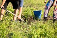 Οι άνθρωποι σκάβουν τις πατάτες στο χώμα το φθινόπωρο Στοκ φωτογραφίες με δικαίωμα ελεύθερης χρήσης