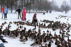 Οι άνθρωποι στο πάρκο ταΐζουν πολλές πάπιες το χειμώνα στοκ εικόνες
