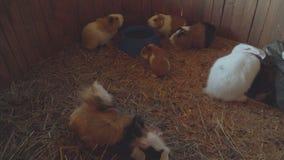 Οι άνθρωποι ταΐζουν τα τρωκτικά και τα κουνέλια στο αγρόκτημα ζωολογικών κήπων απόθεμα βίντεο