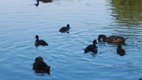Οι άνθρωποι ταΐζουν την πάπια με τους νεοσσούς στη λίμνη μια καυτή ημέρα απόθεμα βίντεο