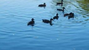 Οι άνθρωποι ταΐζουν την πάπια με τους νεοσσούς στη λίμνη μια καυτή ημέρα φιλμ μικρού μήκους