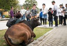 Οι άνθρωποι φωτογραφίζουν την αγελάδα στο μεταλλικό θόρυβο Ngong Στοκ εικόνες με δικαίωμα ελεύθερης χρήσης
