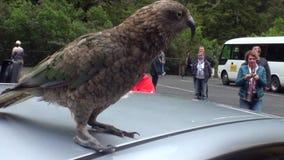 Οι άνθρωποι φωτογραφίζουν το πουλί στη στέγη του αυτοκινήτου στα πράσινα βουνά της Νέας Ζηλανδίας φιλμ μικρού μήκους