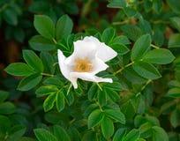 Οι άσπρες άγρια περιοχές λουλουδιών αυξήθηκαν Στοκ φωτογραφία με δικαίωμα ελεύθερης χρήσης