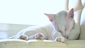 Οι άσπρες γάτες γλείφουν τις τρίχες τους τηλεοπτικά σε αργή κίνηση 120 fps