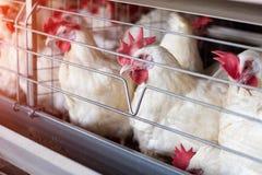 Οι άσπρες κότες κάθονται στα κλουβιά σε ένα φάρμα πουλερικών, ένα αγρόκτημα για τα αυξανόμενα πουλιά, κινηματογράφηση σε πρώτο πλ στοκ φωτογραφία με δικαίωμα ελεύθερης χρήσης