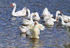 Οι άσπρες πάπιες βουτούν στα μπλε πόδια λιμνών επάνω Στοκ Εικόνες