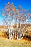 Οι άσπρες σημύδες φθινοπώρου στα λιβάδια Στοκ Εικόνες