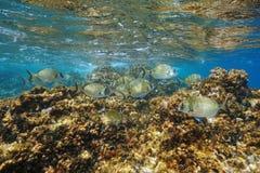 Οι άσπρες τσιπούρες αλιεύουν το υποβρύχιο sargus Diplodus Στοκ εικόνα με δικαίωμα ελεύθερης χρήσης