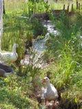 Οι άσπρες χήνες βόσκουν στο λιβάδι Στοκ φωτογραφία με δικαίωμα ελεύθερης χρήσης