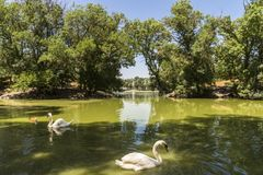Οι άσπροι κύκνοι επιπλέουν στη λίμνη, ζωολογικός κήπος της askania-Nova εθνικής επιφύλαξης, Ουκρανία Στοκ φωτογραφία με δικαίωμα ελεύθερης χρήσης