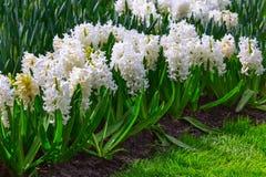 Οι άσπροι υάκινθοι λουλουδιών Στοκ φωτογραφία με δικαίωμα ελεύθερης χρήσης