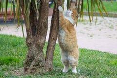 Οι άσπρος-κόκκινες χνουδωτές στάσεις γατών στα οπίσθια πόδια της, το μέτωπο διατηρούν το δέντρο στοκ εικόνα