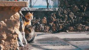 Οι άστεγες γάτες στην οδό τρώνε τα τρόφιμα την πρώιμη άνοιξη απόθεμα βίντεο