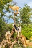Οι αίγες βόσκουν σε ένα argan δέντρο - Μαρόκο Στοκ εικόνες με δικαίωμα ελεύθερης χρήσης