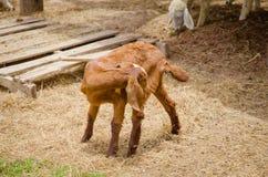 Οι αίγες είναι φιλικά ζώα Στοκ φωτογραφίες με δικαίωμα ελεύθερης χρήσης