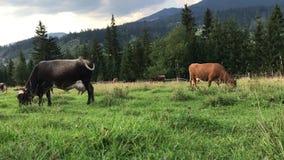 Οι αγελάδες βόσκουν σε έναν πράσινο τομέα στα βουνά Carpathians φιλμ μικρού μήκους