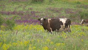 Οι αγελάδες βόσκουν σε ένα λιβάδι φιλμ μικρού μήκους